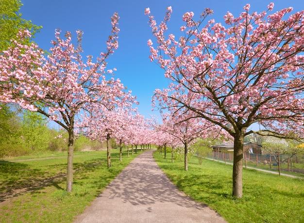 Allée de cerisiers en fleurs appelée