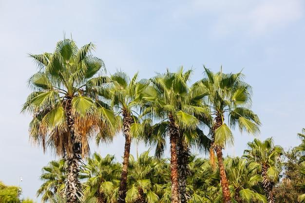 Allée de palmiers à la mer