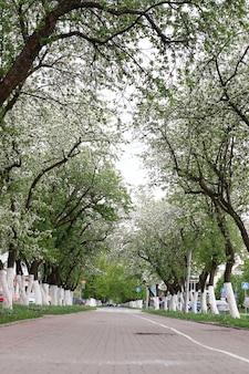 Allée de pommiers en fleurs luxuriantes au début du printemps