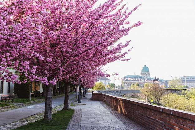 Allée de pruniers en fleurs dans le château de buda à budapest, hongrie