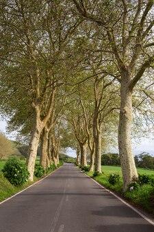Allée de sycomore sur la route. île de sao miguel. le portugal.