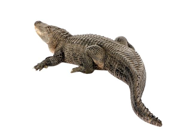 Alligator américain, alligator mississippiensis, isolé sur blanc