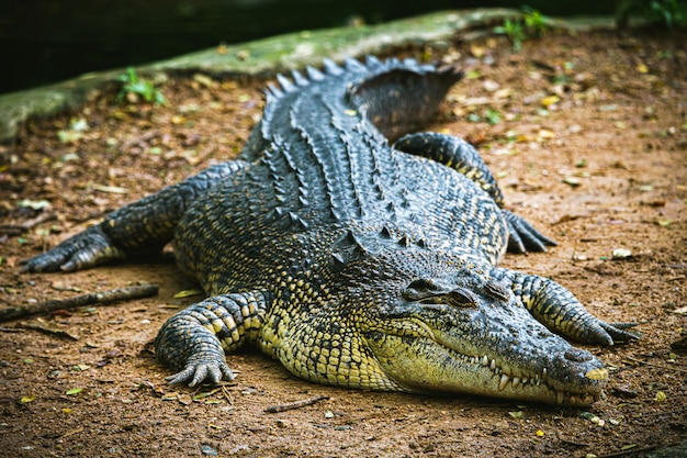 Alligator d'animaux dangereux dans l'eau