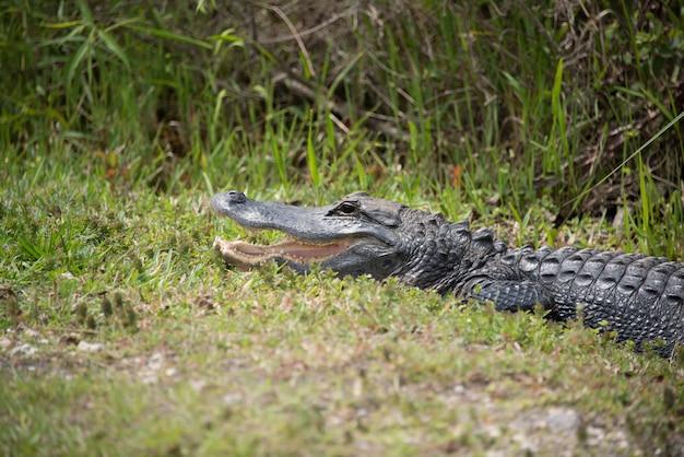 Alligator au repos avec la bouche ouverte