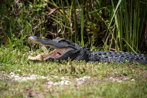 Alligator avec la bouche ouverte