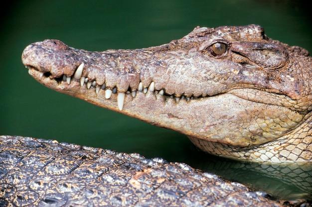 Alligator dans l'eau, singapour