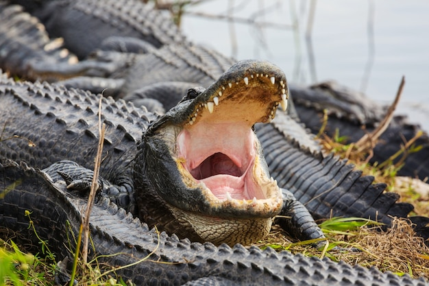 Alligator en floride