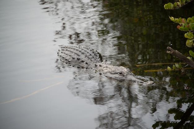 Alligator nager