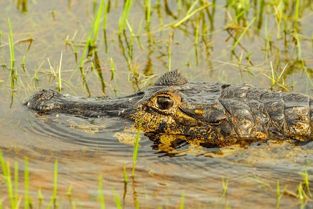 Alligator se reposant dans une zone humide dans le pantanal du mato grosso pocone mato grosso brésil