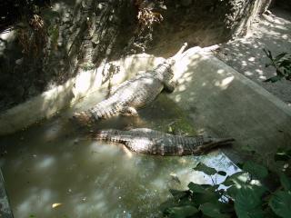Alligators du zoo de surabaya, alligators