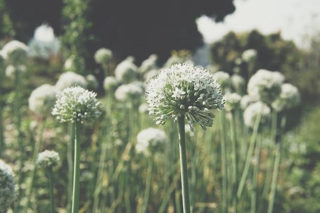 Allium échalote oignon ail ciboulette oignon vert poireau fleur poussant dans le jardin de champ