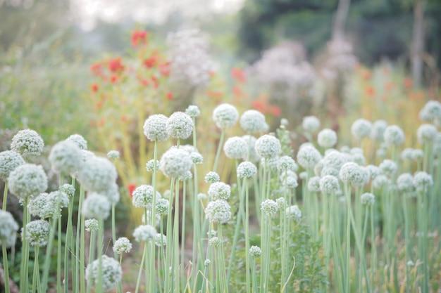 Allium échalote Oignon Ail Ciboulette Oignon Vert Poireau Fleur Poussant Dans Le Jardin De Champ Photo Premium
