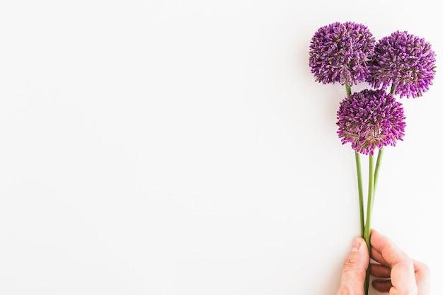Allium violet isolé sur fond blanc avec la main de l'homme