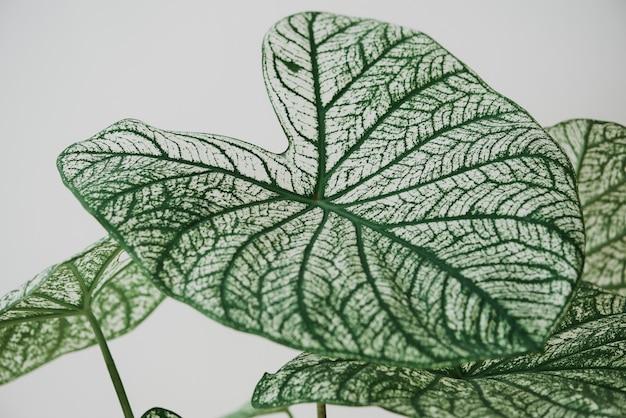 Alocassia polly plante sur fond gris clair
