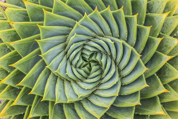 Aloe polyphylla vue de dessus