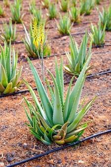 Aloe vera field in canary islands espagne
