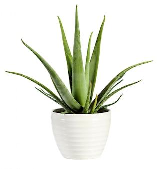 Aloe vera fraîche isolée dans un pot de fleurs