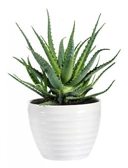 Aloe vera isolé sur un pot blanc