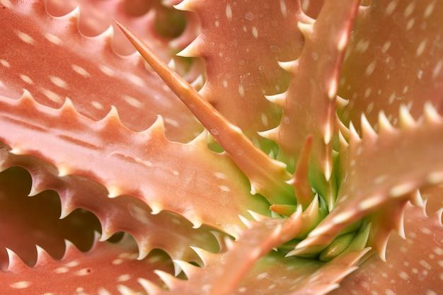 Aloe vera ou star cactus (aloe barbadensis mill) jelly dans les feuilles d'aloe vera