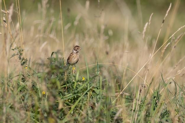 Alouette des champs (alauda arvensis) perché sur une tige par un champ à la fin de l'été