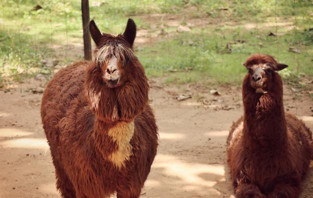 Alpaga au zoo
