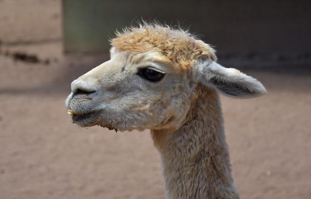 Alpaga blanc avec une sous-morsure et des dents montrant