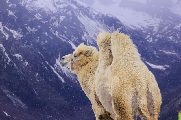 Alpaga dans les montagnes