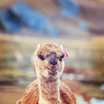 Alpaga péruvien dans les andes