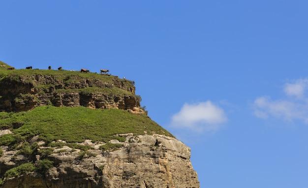 Alpage en forêt pour vaches et veaux.
