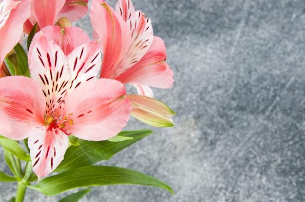 Alstroemeria rose, gros plan sur gris