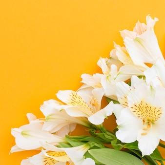 Alstroemerias blanches à plat avec copie-espace