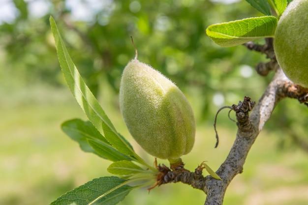 Amande non mûre sur la branche de l'arbre en sicile, italie