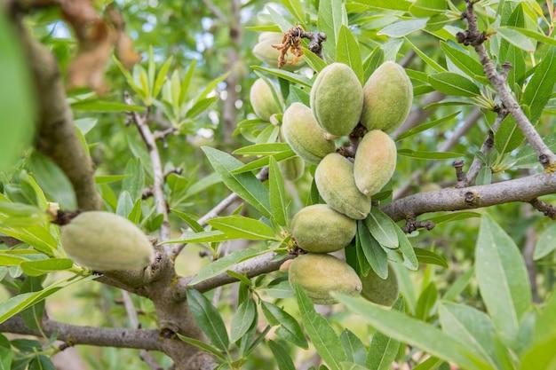Amande non mûre sur la branche de l'arbre en sicile, en italie