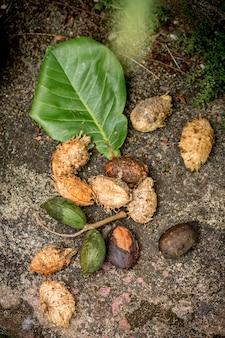 Amande tropicale, amande du bengale, amande indienne, amande de mer, amande de plage, (terminalia catappa).