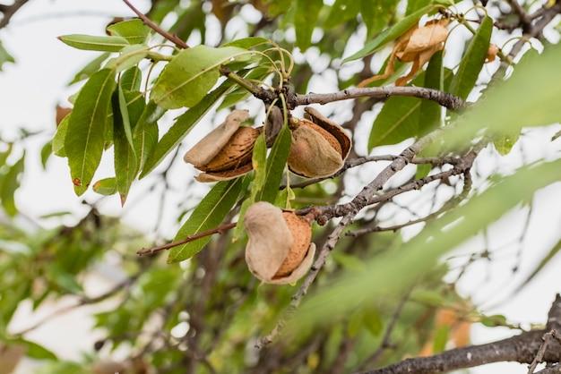 Amandes mûres sur l'arbre.