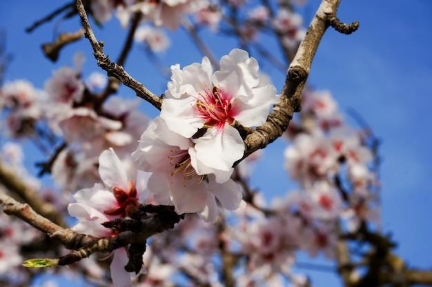Amandier en fleur se bouchent