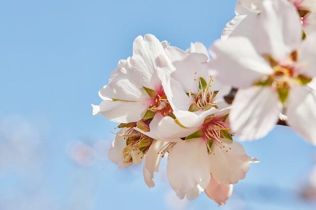 Amandier en fleurs contre le mur du ciel printanier.