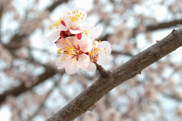 L'amandier fleurs roses avec des branches
