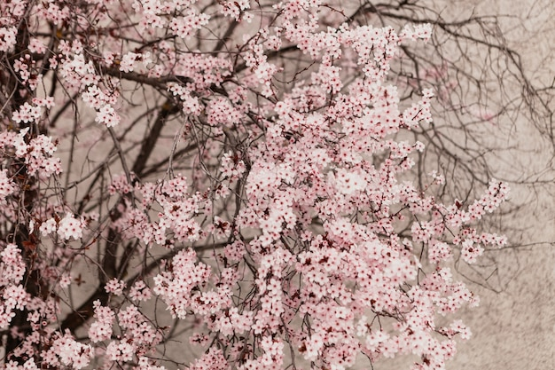 Amandier plein de fleurs se bouchent