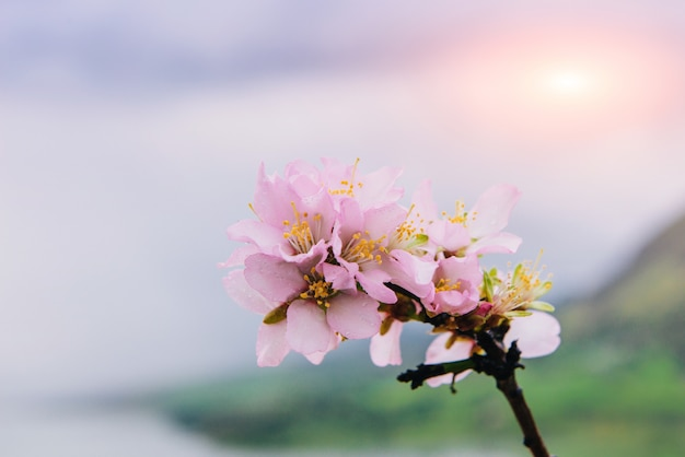 Amandier de printemps fleurs roses