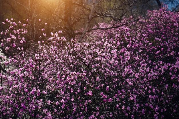 Amandiers, couverts de fleurs roses, dans la douce lumière du soleil levant. fond naturel.