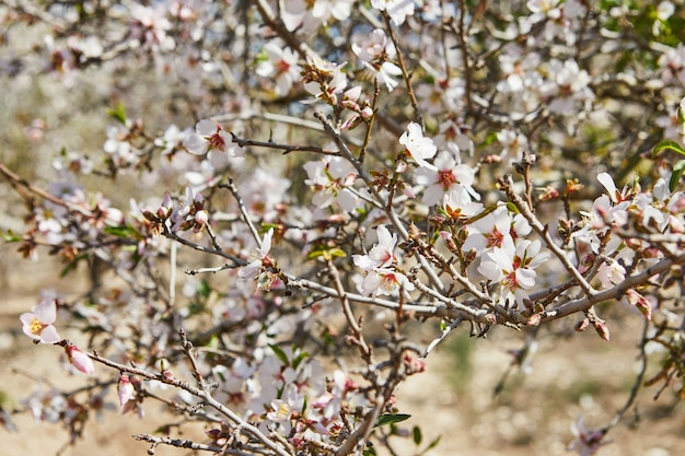 Amandiers en fleurs au début du printemps