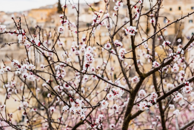Amandiers en fleurs au printemps dans une ville méditerranéenne