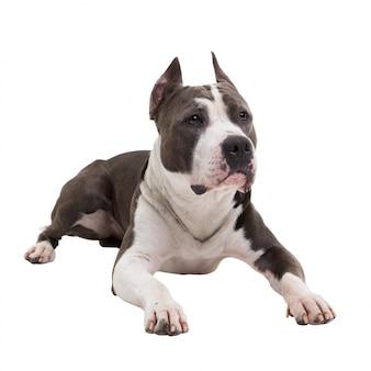 American pit bull terrier se trouve sur un blanc