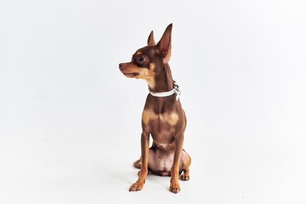 Ami de chien de race de l'homme close-up studio. photo de haute qualité