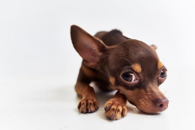 Ami de chien de race de studio de plan rapproché humain
