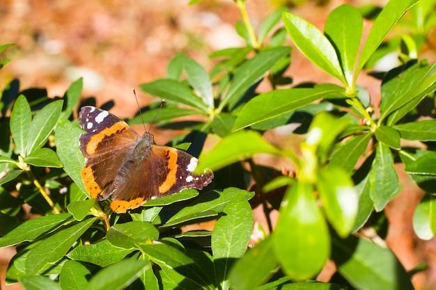 Amiral rouge coloré vanessa atalanta avec arrière-plan flou le papillon est de couleur rouge-orange. il se nourrit de plantes d'ortie et de chardon. l'un des papillons les plus communs d'amérique du nord et de russie