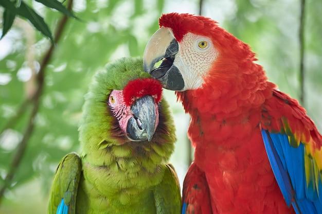 L'amour entre deux espèces d'aras