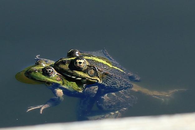 Amphibiens classe grenouilles
