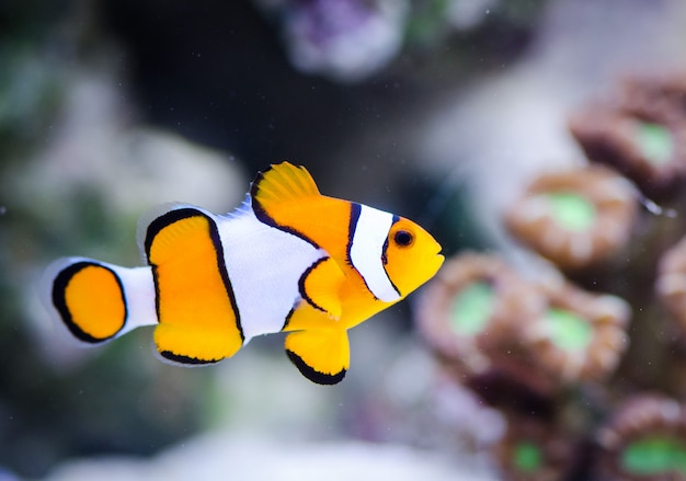 Amphiprion ocellaris dans un aquarium marin